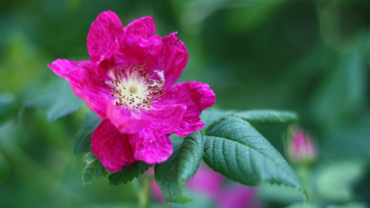 fuksian pinkki ruusu