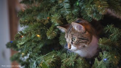 Kissa piileskelee joulukuusessa.