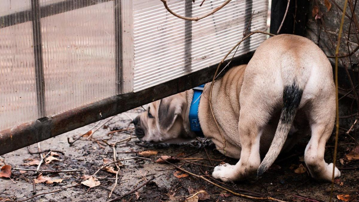 A dog looking under a fence.