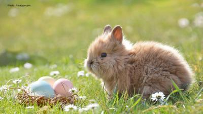 Pieni lyhytkorvainen pupu istuu ruohikolla, pääsiäismunia kuonon edessä.